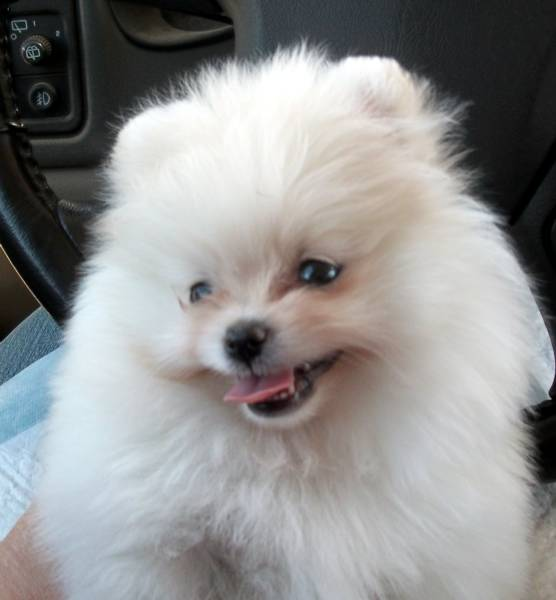 Ice+white+teacup+pomeranian