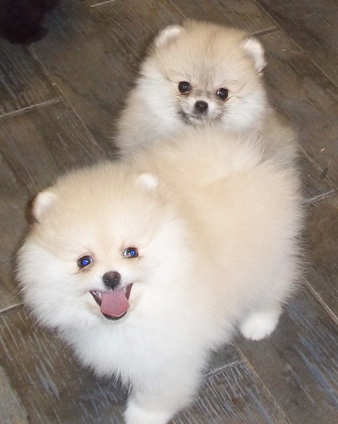 Pomeranian Pups For Sale In Ca 2009