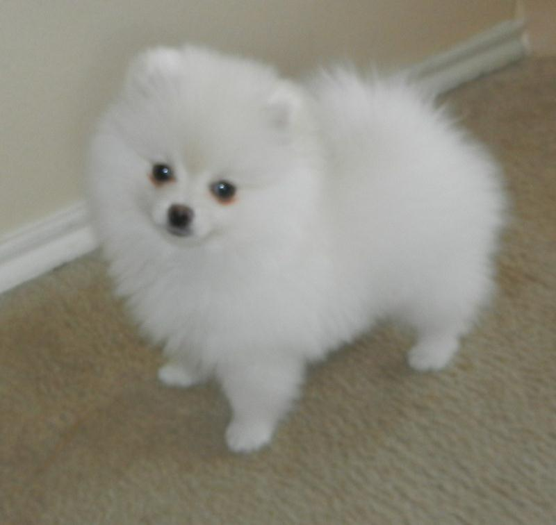 White Teacup Pomeranian Puppies Pomeranian puppies for sale