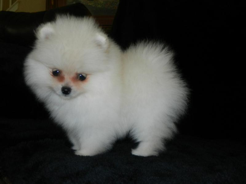 Pomeranian puppies for sale, Pomeranians puppies for sale ...