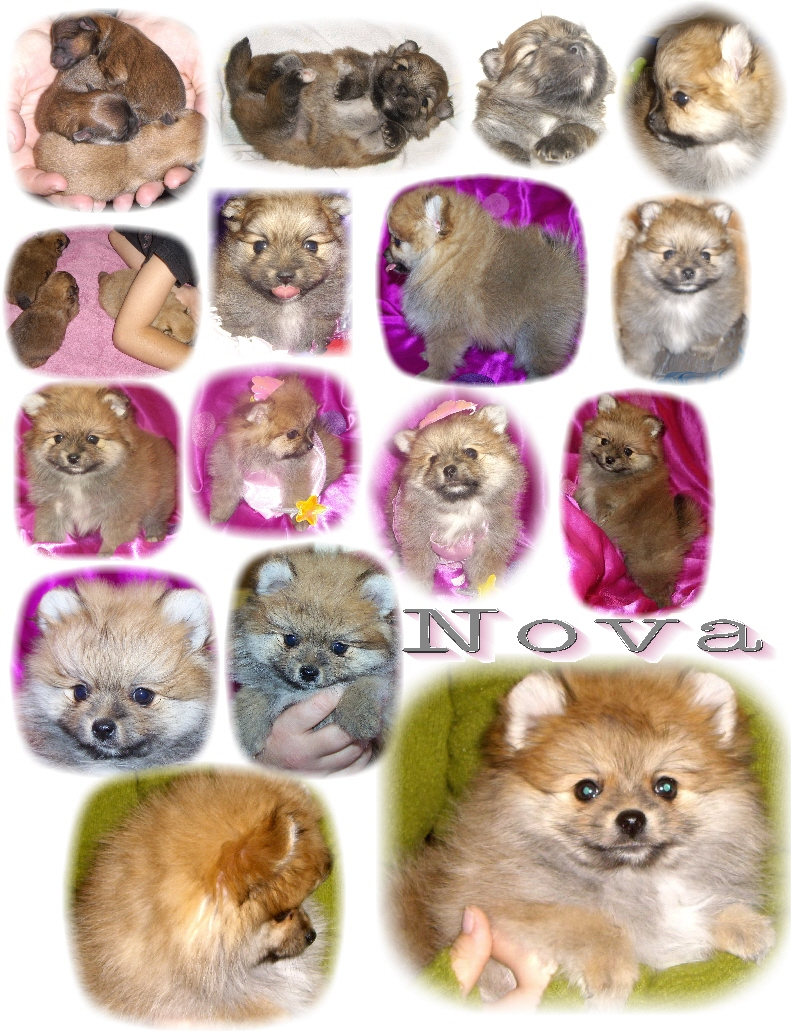 Pomeranian color changes nvjuhfo Images