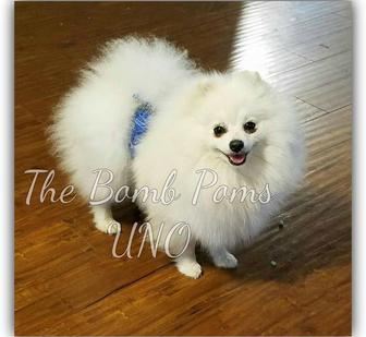 Pomeranians puppies for sale by The Bomb Poms